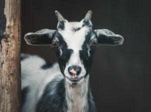 I det gamle Rom var geden et frugtbarhedssymbol på valentinsdag